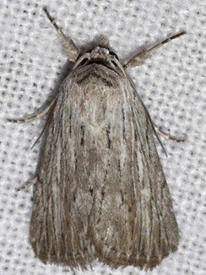 Fine-lined Sallow - Catabena lineolata