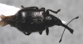 unknown weevil - Haplorhynchites aeneus