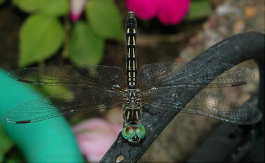 Unknown Dragonfly - Pachydiplax longipennis - female