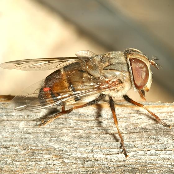 Fly - Copestylum isabellina