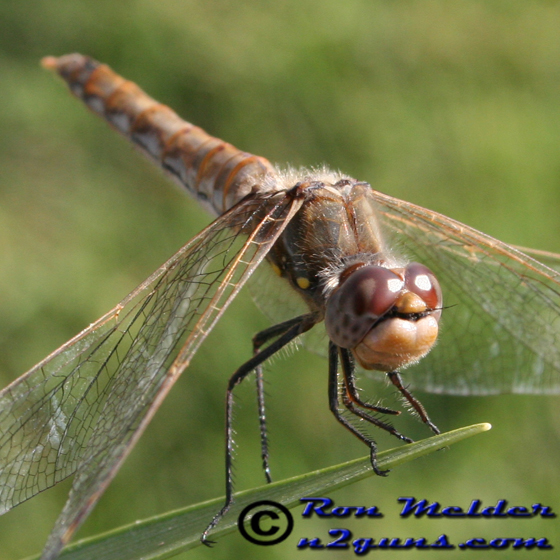 Variegated Meadowhawk - Sympetrum corruptum - female
