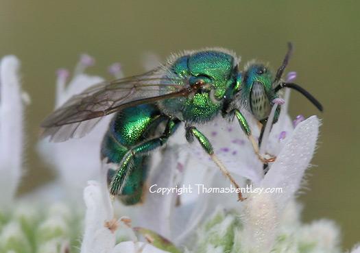 Halictid Bee - Augochloropsis metallica - male