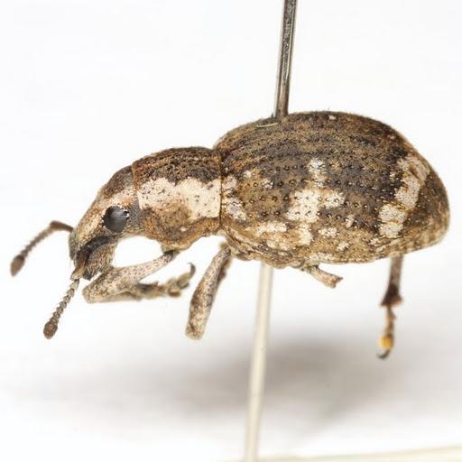 Omileus epicaeroides Horn - Omileus epicaeroides
