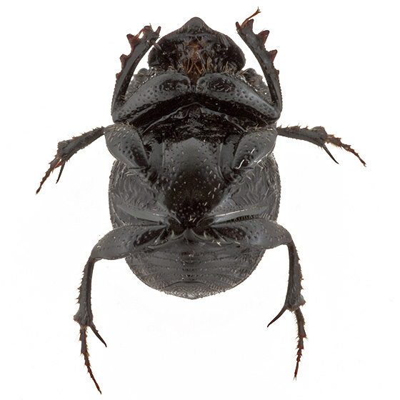 Lil beetle - Onthophagus hecate - male