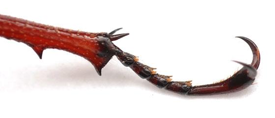right rear tibia and tarsi, reddish brown stag beetle - Lucanus capreolus - male