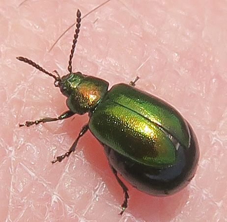 Green Dock Beetle - Gastrophysa cyanea - female