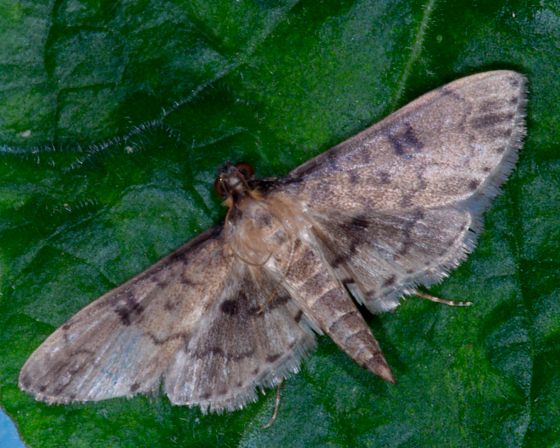 Nacoleia charesalis (Walker) - Nacoleia charesalis