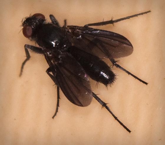 Dark Fly - Melanophora roralis
