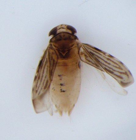 Micronecta ludibunda
