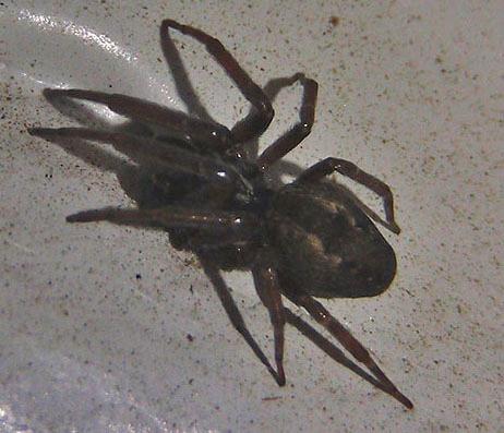 unknown dark spider