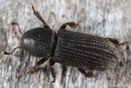 scolytin beetle - Hylastes