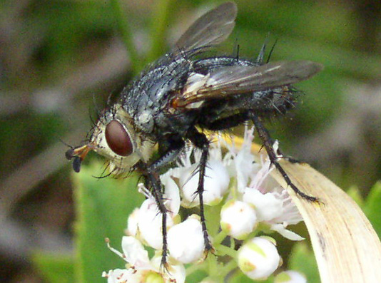 Fly on meadowsweet - Peleteria
