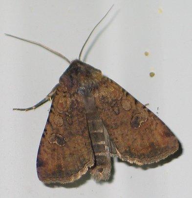 Pearly Underwing - Peridroma saucia