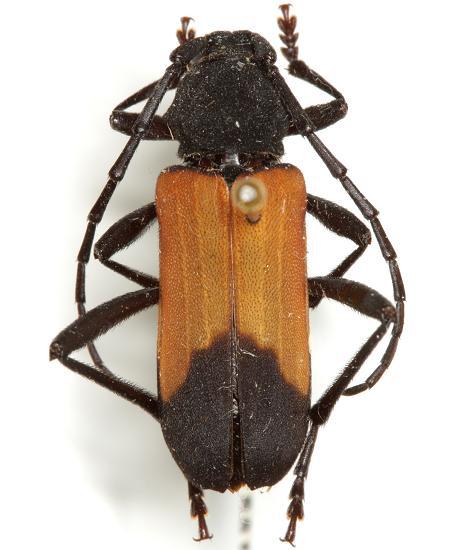 Purpuricenus opacus (Knull) - Purpuricenus opacus - female