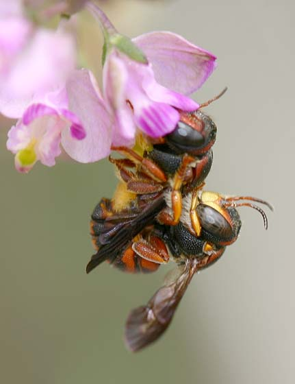 Mating Resin Bees - Anthidiellum perplexum - male - female