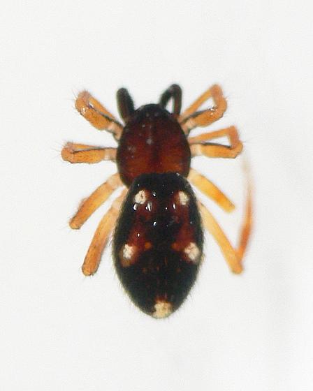 Euryopis quinquemaculata; female; habitus dorsal - Euryopis quinquemaculata - female