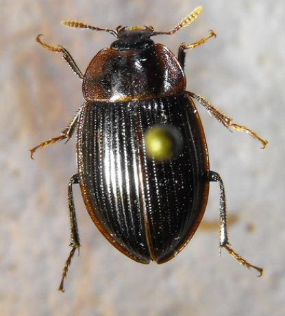 Necrophilus hydrophiloides