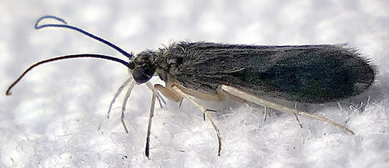 small dark caddisfly