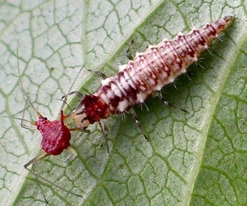 aphid killer