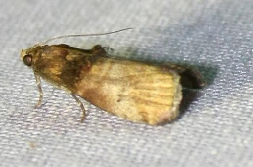Unknown moth adams32 - Acrobasis aurorella