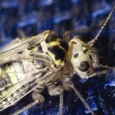 Common Barklouse - Metylophorus novaescotiae