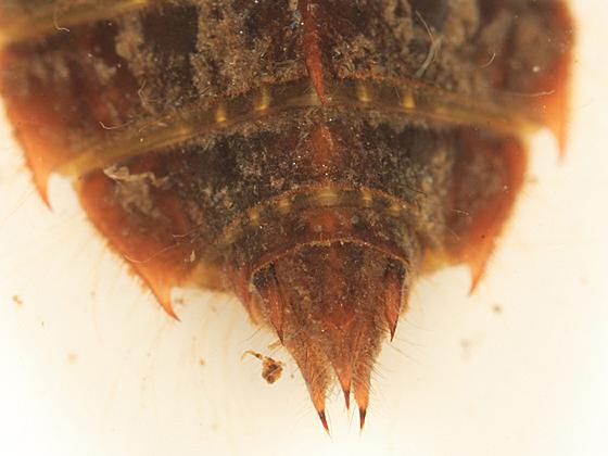 Ode larva - Libellula incesta