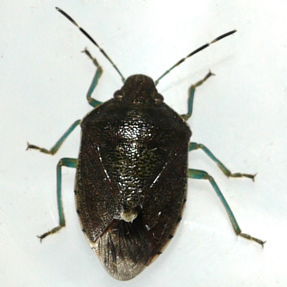 Stink Bug - Banasa sordida