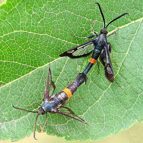 Apple clearwing moth - Synanthedon myopaeformis - male - female