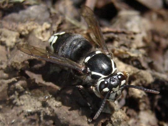 Hornet - Dolichovespula maculata