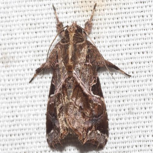 Florida Fern Moth - Hodges #9630 - Callopistria floridensis