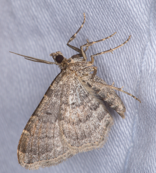 Bioblitz Moth #41 - Orthonama obstipata