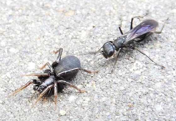 Pennsylvania Spider for ID - Allocosa funerea