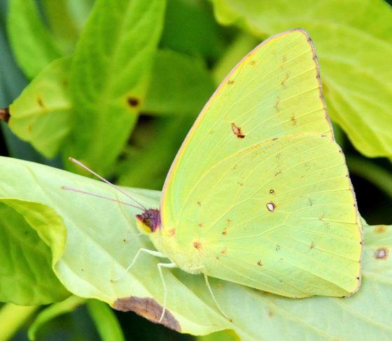 phoebis or colias? - Phoebis sennae - male