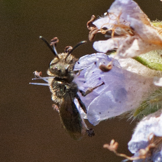 Bee on Phacelia #3