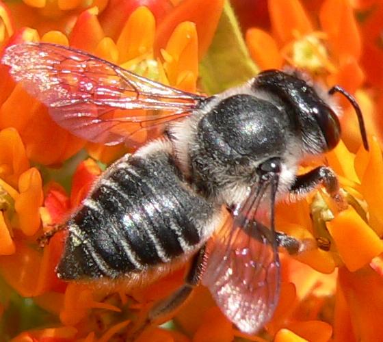 Megachile mendica