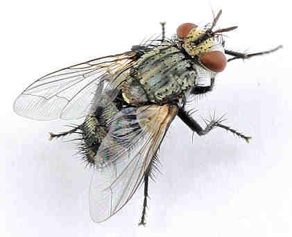 Tachinidae --? - Exorista - female
