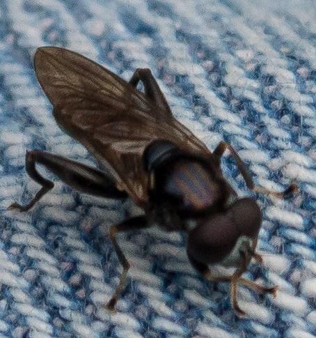 Chalcosyrphus ? - Chalcosyrphus nemorum - male
