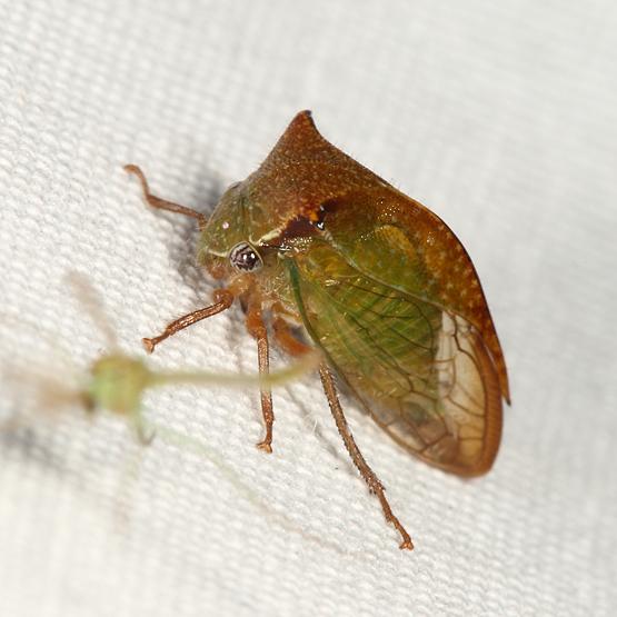 Treehopper - Ceresa stimulea