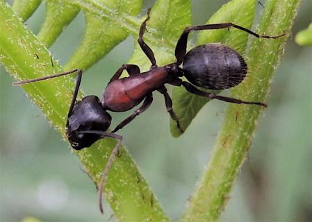 Ant on Bracken Fern 1 - Camponotus vicinus