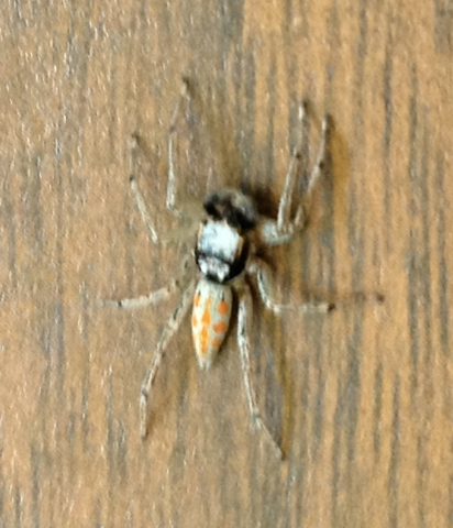 Male Maevia poultoni - Paramaevia poultoni - male