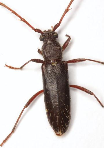 Stenelaphus alienus (LeConte) - Stenelaphus alienus
