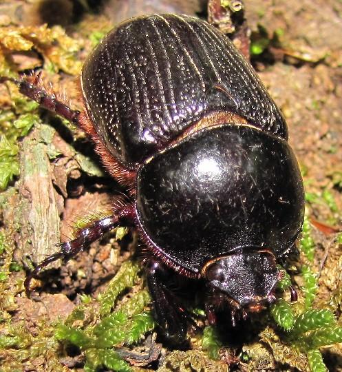 beetle - Xyloryctes jamaicensis - female