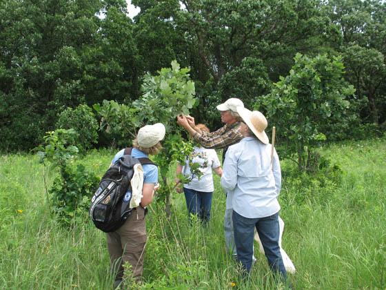 John Pearson identifying and describing oak gallers