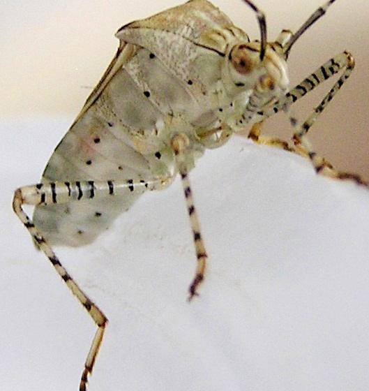Spot-sided Coreid? - Hypselonotus punctiventris
