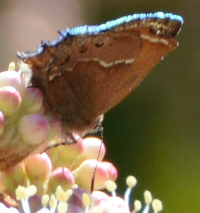 butterfly - Callophrys gryneus