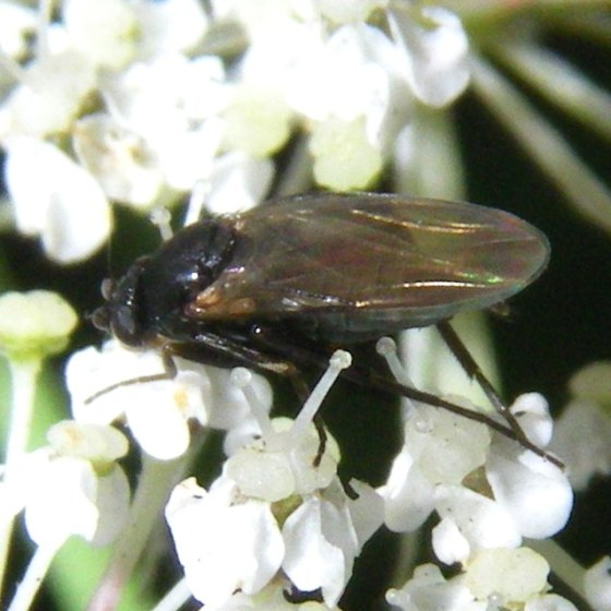 very small fly - Triphleba
