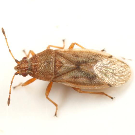 Quackgrass bug - Cymus