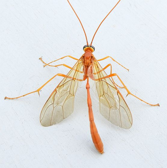 Pennsylvania Enicospilus for ID - Enicospilus