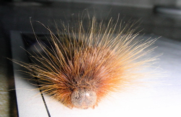 Redish Hairy Caterpillar ???