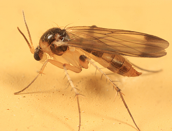 fungus gnat - Rondaniella dimidiata - female